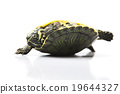 Turtle - isolated on white, egzotic natural tone  19644327