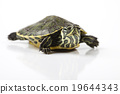 Turtle - isolated on white, egzotic natural tone  19644343