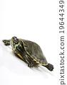 Turtle, egzotic natural tone concept 19644349