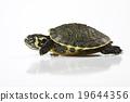Turtle, egzotic natural tone concept 19644356