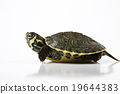 Nice Turtle isolated on white 19644383