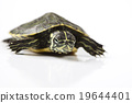 Turtle and carapace, egzotic natural tone concept 19644401
