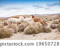 lamas in Andes,Mountains, Peru 19650728