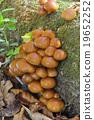 nameko, fungi, pholiota nameko 19652252