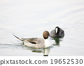 northern, pintail, duck 19652530