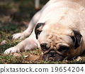 cute lovely fat white pug dog laying on the floor 19654204