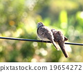 zebra doves on electric cable wire in green nature 19654272