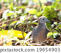 little lovely zebra dove resting on green floor 19654903