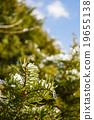 樹葉 冰柱 赤皮櫟 19655138