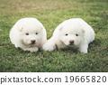 siberian husky  puppies kissing on green grass 19665820