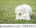 siberian husky  puppies kissing on green grass 19665824