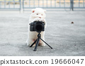 siberian husky puppy taking a photo 19666047