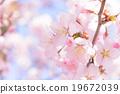 櫻花(蓬鬆) 19672039