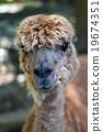 駱駝 臉部 臉 19674351