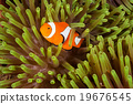 Clow Anemone Fish 19676545
