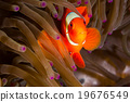 Maroon Clownfish in Anemone 19676549