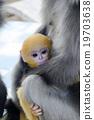 monkey, dusky, mother 19703638