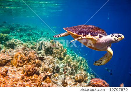 Hawksbill Turtle - Eretmochelys imbricata 19707670