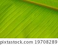 closeup of banana leaf texture (background) 19708289
