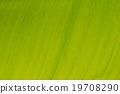 closeup of banana leaf texture (background) 19708290