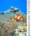Ocellaris Clownfish, anemone, sea anemone 19712585