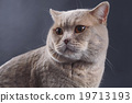 British Short Hair Cat 19713193