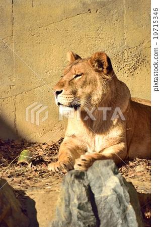 아프리카 사자 19715346