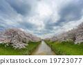 樱花 樱桃树 河 19723077