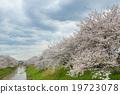 樱花 樱桃树 河 19723078