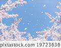 벚꽃, 벚꽃 눈보라, 흩날리다 19723636