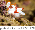 Clown Frogfish 19726170