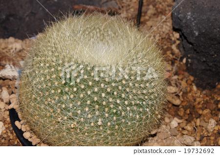 Cactus · gypsum 19732692