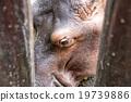 big, hippo, hippopotamus 19739886