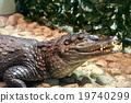 鱷魚 爬行動物 爬蟲類的 19740299