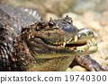 鱷魚 爬行動物 爬蟲類的 19740300
