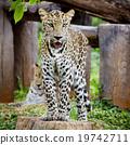 Leopard portrait 19742711
