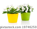 white Saintpaulia flowers on white background 19746250