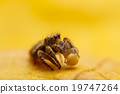 jumper spider on yello leaf 19747264