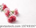 康乃馨 花卉 花 19749397