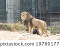 動物園 獅子 動物 19760177