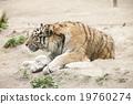 動物園 虎 老虎 19760274
