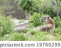 動物園 虎 老虎 19760299
