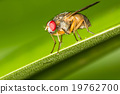 Closeup of a fly on a green leaf 19762700