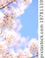ดอกซากุระบาน,ซากุระบาน,ดอกไม้ 19781339