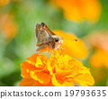 Moth on Tiny Yellow Flower 19793635