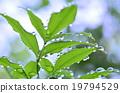 雨的叶子 19794529