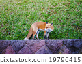 red fox on green grass background 19796415