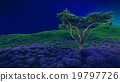 Lavender fields with  solitary tree 19797726