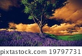 Lavender fields with  solitary tree 19797731