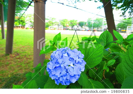 Hydrangea blooming in the elementary schoolyard 19800835